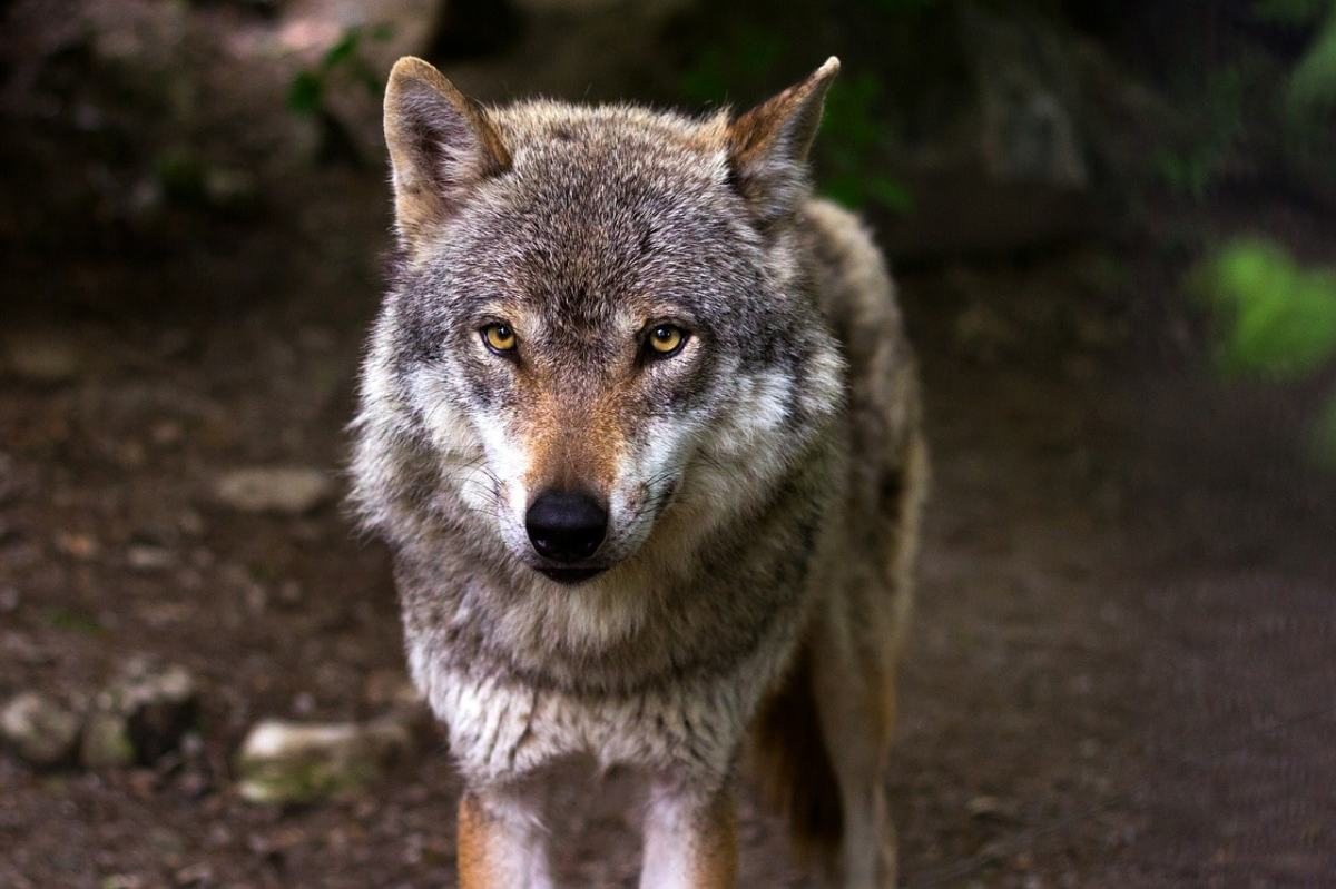 Der Wolf wurde in Deutschland und Österreich ausgerottet. Jetzt kehrt er zurück und Politiker fordern bereits Abschussquoten.
