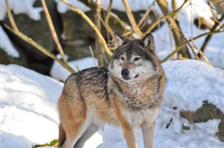 In Deutschland wurde der letzte Wolf 1904 abgeschossen. Jetzt kehrt er zurück und die Politik macht sofort Jagd auf ihn.