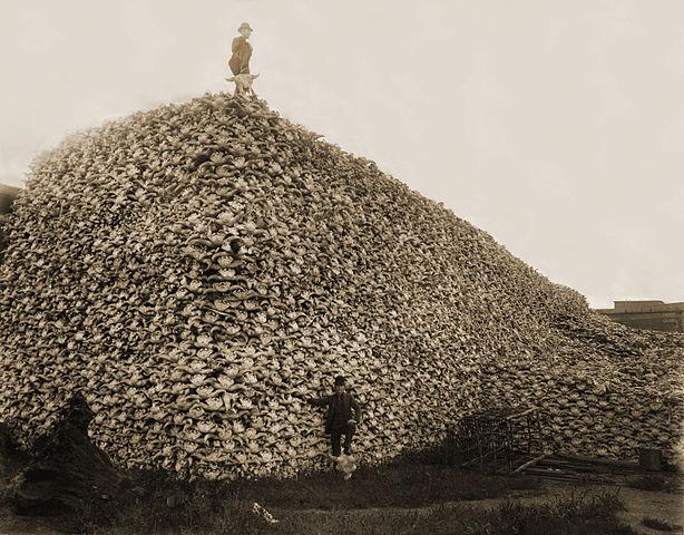 Bisonschädelknochen, um 1870. Bisons stellten die Lebensgrundlage der Sioux-Indianer dar. Foto ist gemeinfrei.