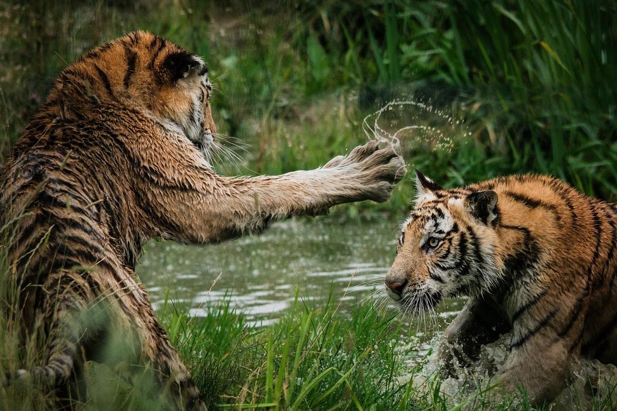 Tiger im Spiel. (Foto: Frida Bredesen, Unsplash.com)
