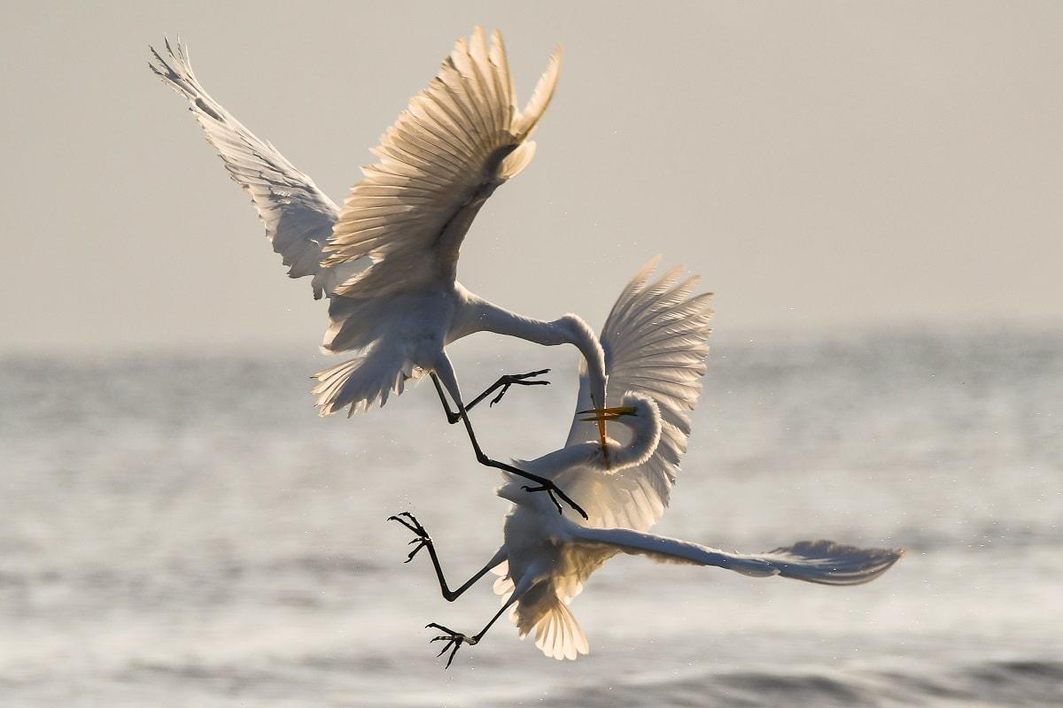 Große Reiher im Kampf. (Foto: Chris Sabor, Unsplash.com)